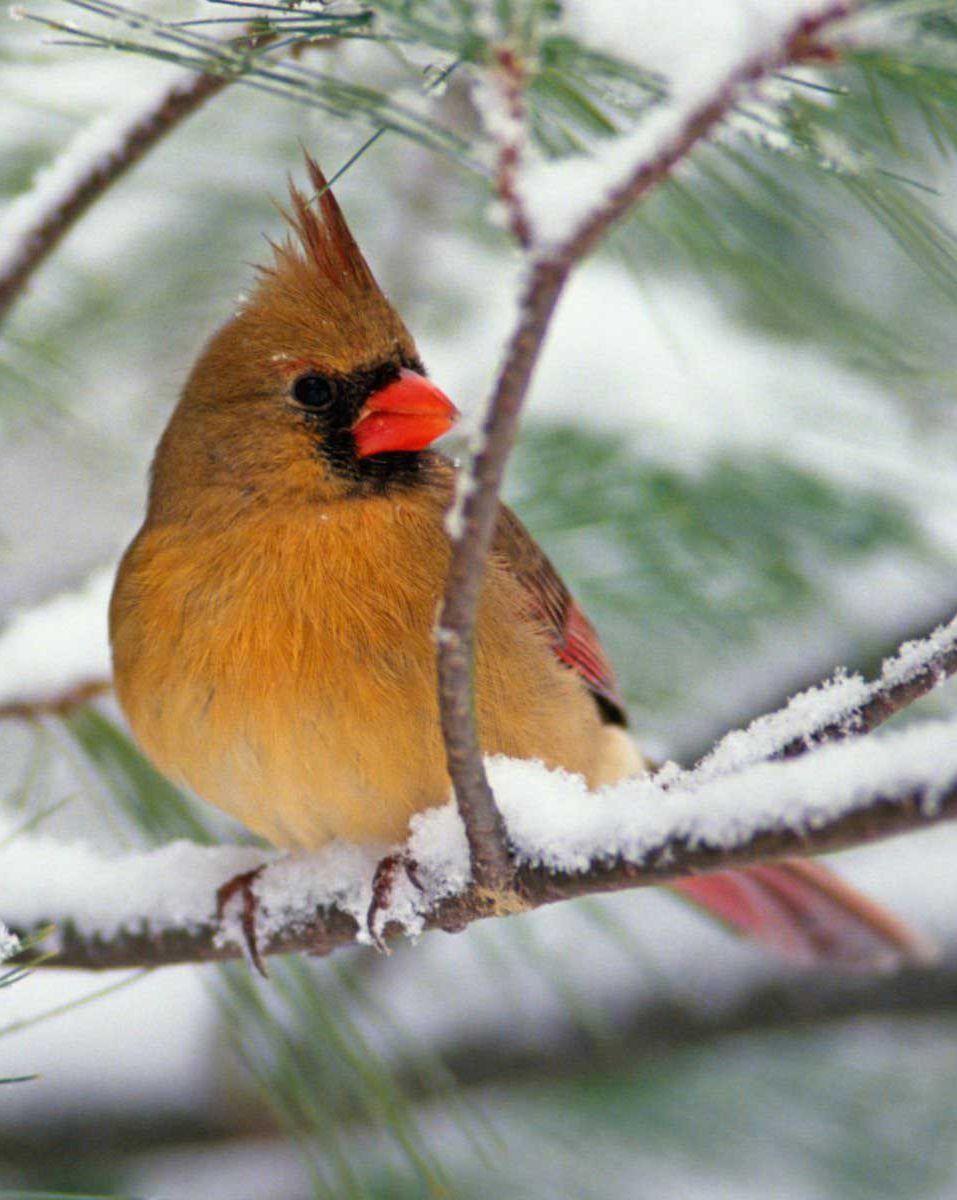 Why Feed Winter Birds? - Autumn Hill Nursery  Female Cardinal In Winter