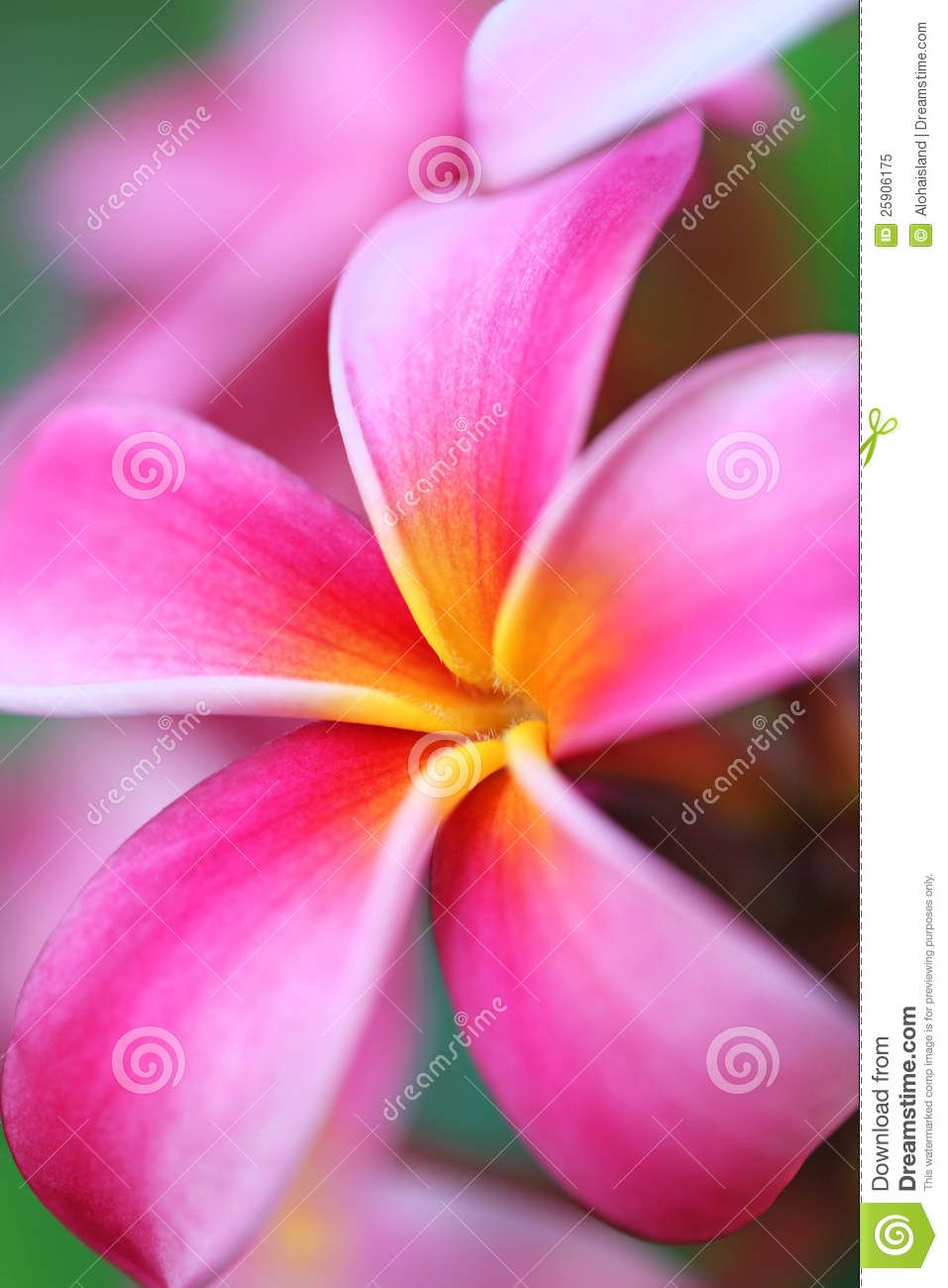 Pink plumeria flower hawaii plumeria flowers pinterest flowers pink plumeria flower hawaii izmirmasajfo Choice Image