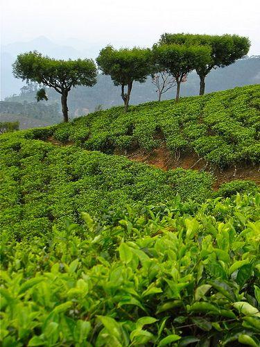 Dambatenne Tea Estate, Haputale, Sri Lanka (www.secretlanka.com)