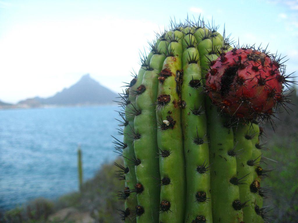 Pitahaya Baja California Sur Pitahaya Baja California Sur Baja California