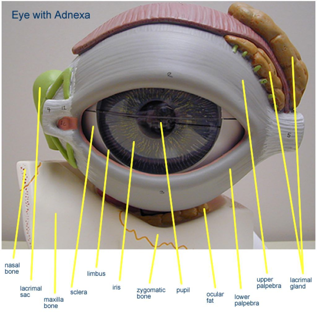 Inner Eye Structure Anatomy