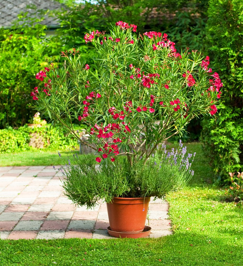 oleander richtig schneiden gartenideen pinterest. Black Bedroom Furniture Sets. Home Design Ideas