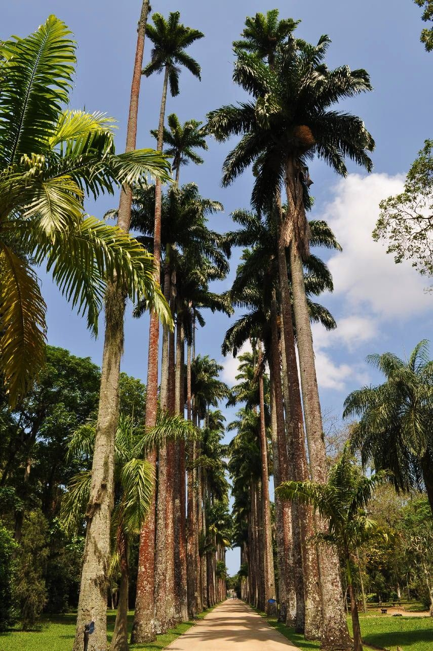 Incredible palms in Rio de Janeiro, Jardim Botanico