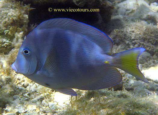 Atlantic Blue Tang Blue Tang Caribbean Tang