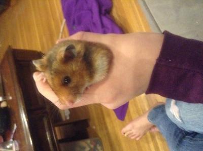 Female Short Haired Hamster Petsmart Cute