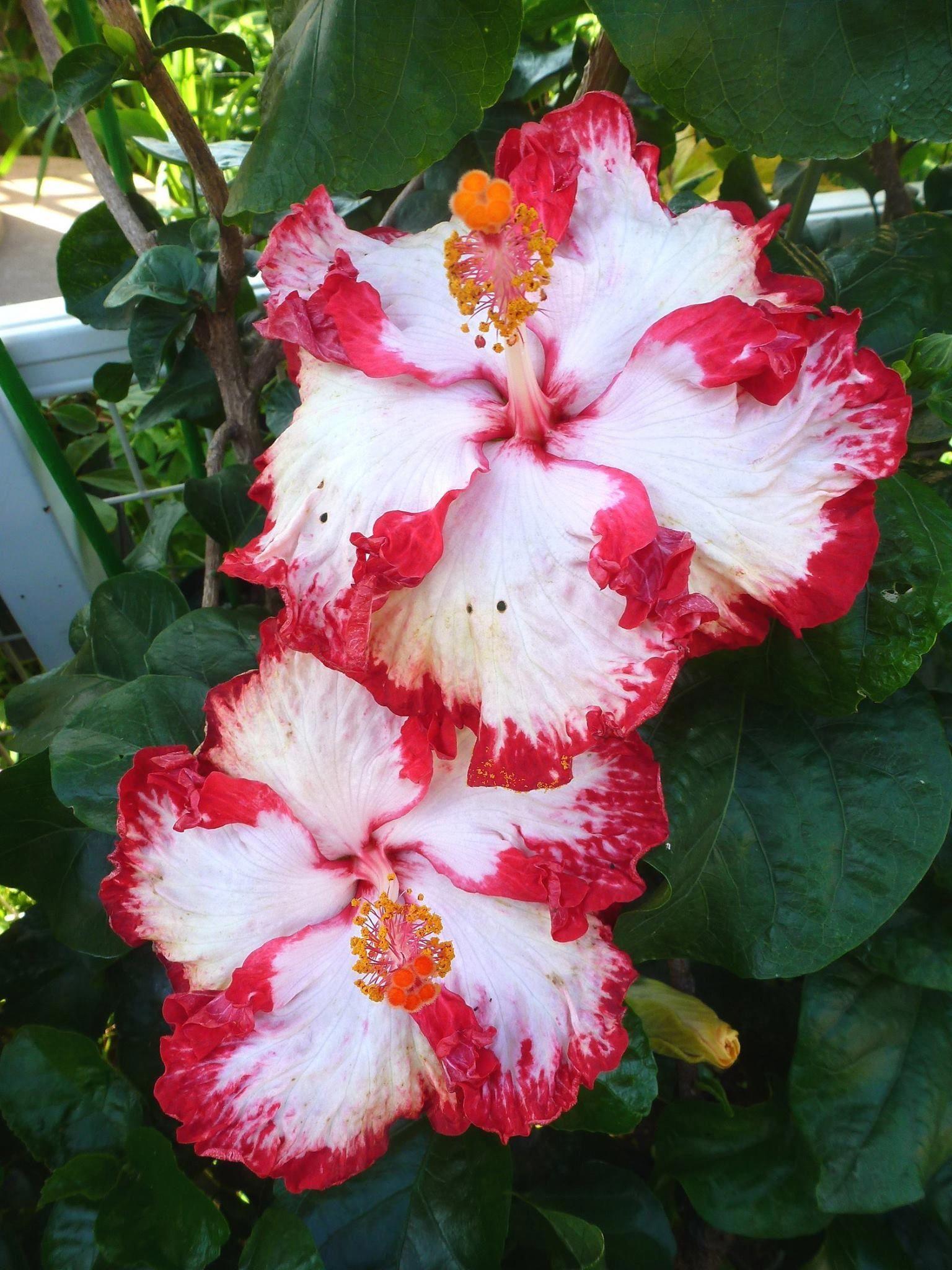 Hibiscus Flower Diseases Hibiscus Flowers Hibiscus Plant