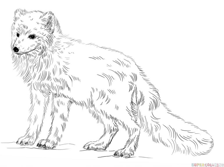 Realistic fox Drawing Tutorial