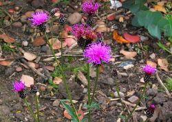 saw-wort - a yellow natural dye plant