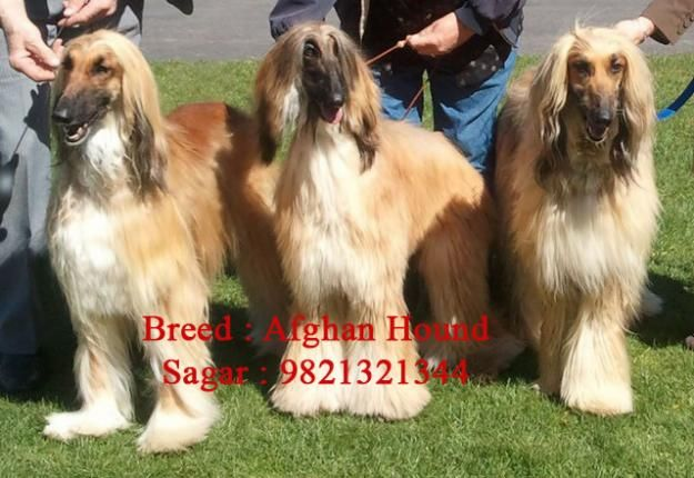 Price Afghan Hound Puppies Bombshell Female Afghan Hound Dogs