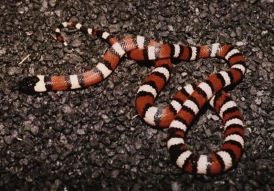 California Mountain Kingsnake (Lampropeltis zonata multicincta)