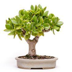 geldbaum garten pinterest bonsai bonsai baum und pflanzen. Black Bedroom Furniture Sets. Home Design Ideas