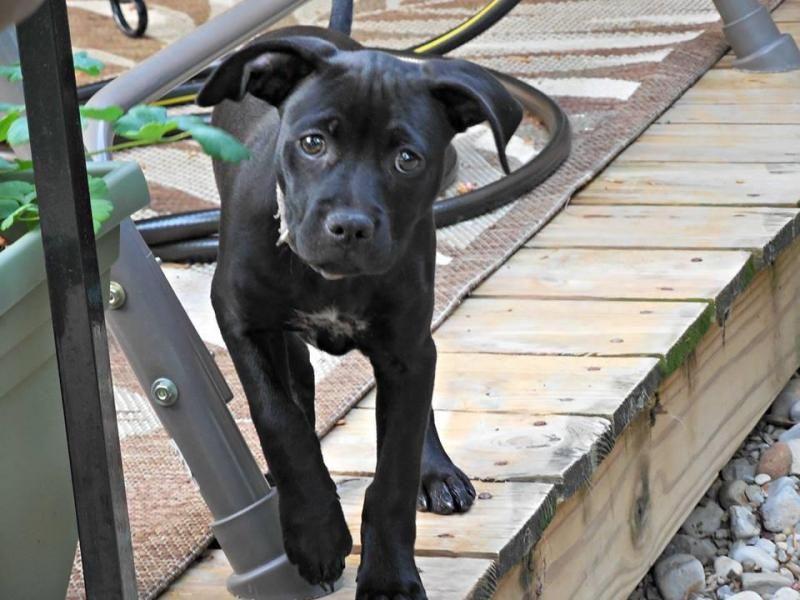 Adopt Enya On Pitbull Terrier Adoptable Pit Bulls Bull Terrier Dog