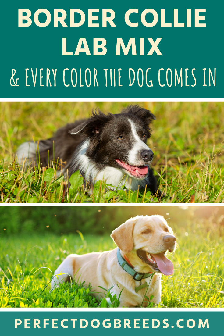 Border Collie Lab Mix Colors Can Be A Combination Of Solid Black