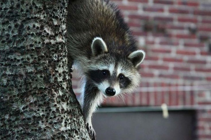 Natural Raccoon Deterrents That Will Send The Critters Packing
