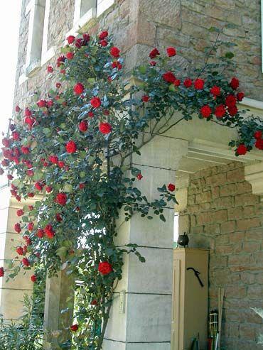 roses papa meilland J.