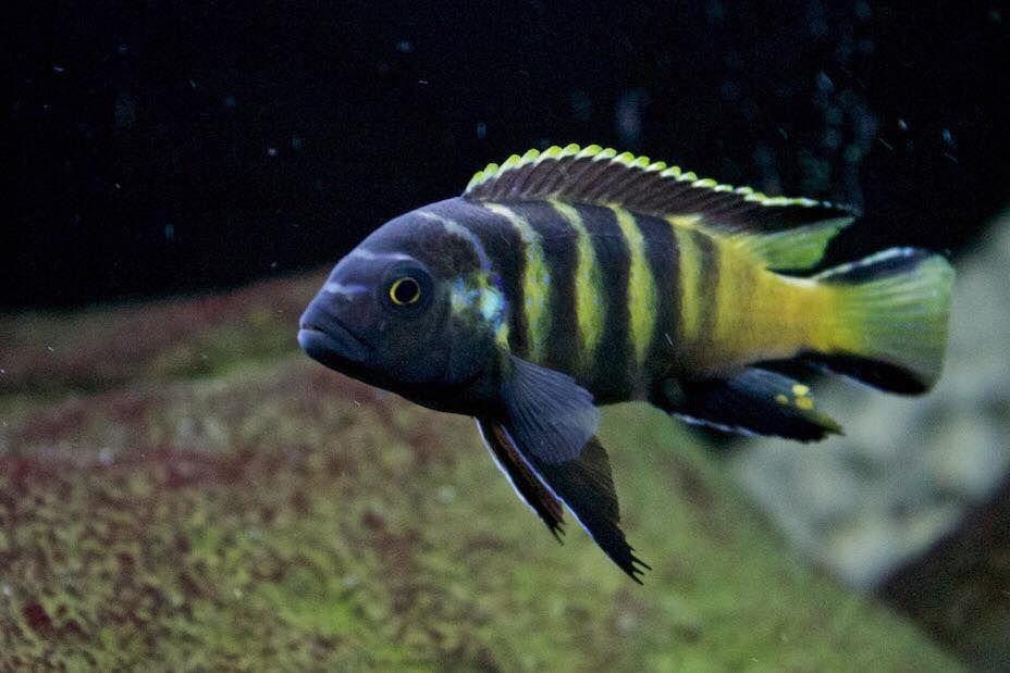 pseudotropheus elongatus chailosi