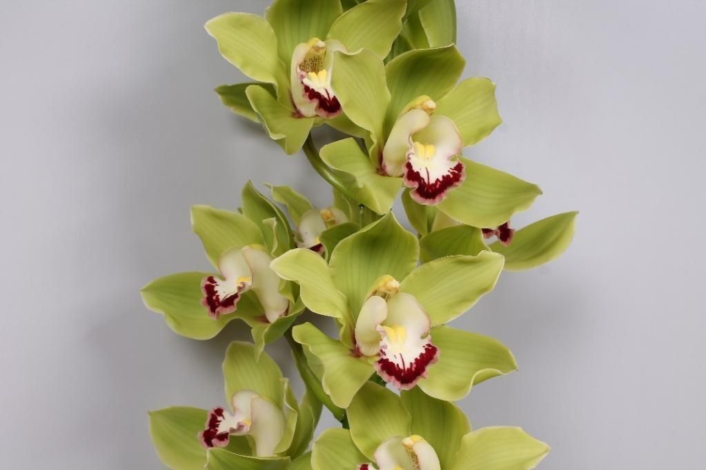 Green Cymbidium Orchid 10 Stems Wholesale Flowers Jr Roses Bulk Flowers Online Cymbidium Orchids Wholesale Flowers