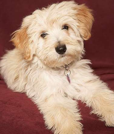 Havanese dogs are small and adaptable to any kind of living situation, including apartment life. The... - Mom.me
