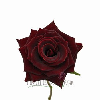 Scarlett O Hara Red Sweetheart Rose With Images Burgundy