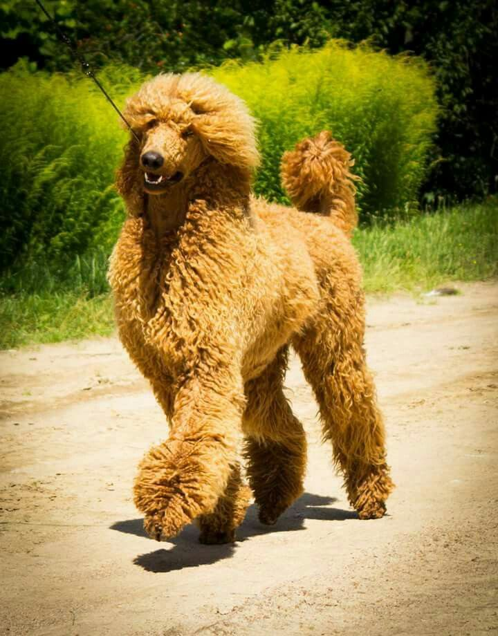 Standard Poodle Cute Dogs Dog Breeds Sporting Dogs