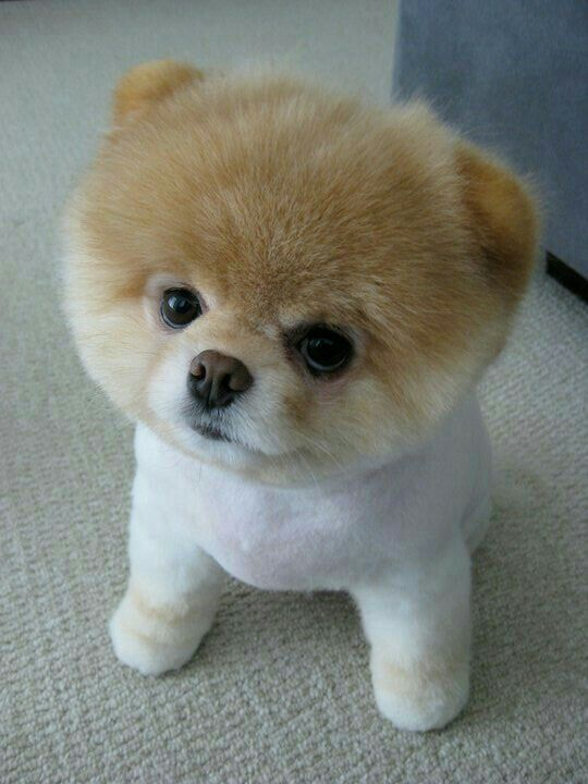 Must see Boo Chubby Adorable Dog - f445bfeeffed9d91801e302cc0d2c66c  Perfect Image Reference_27219  .jpg