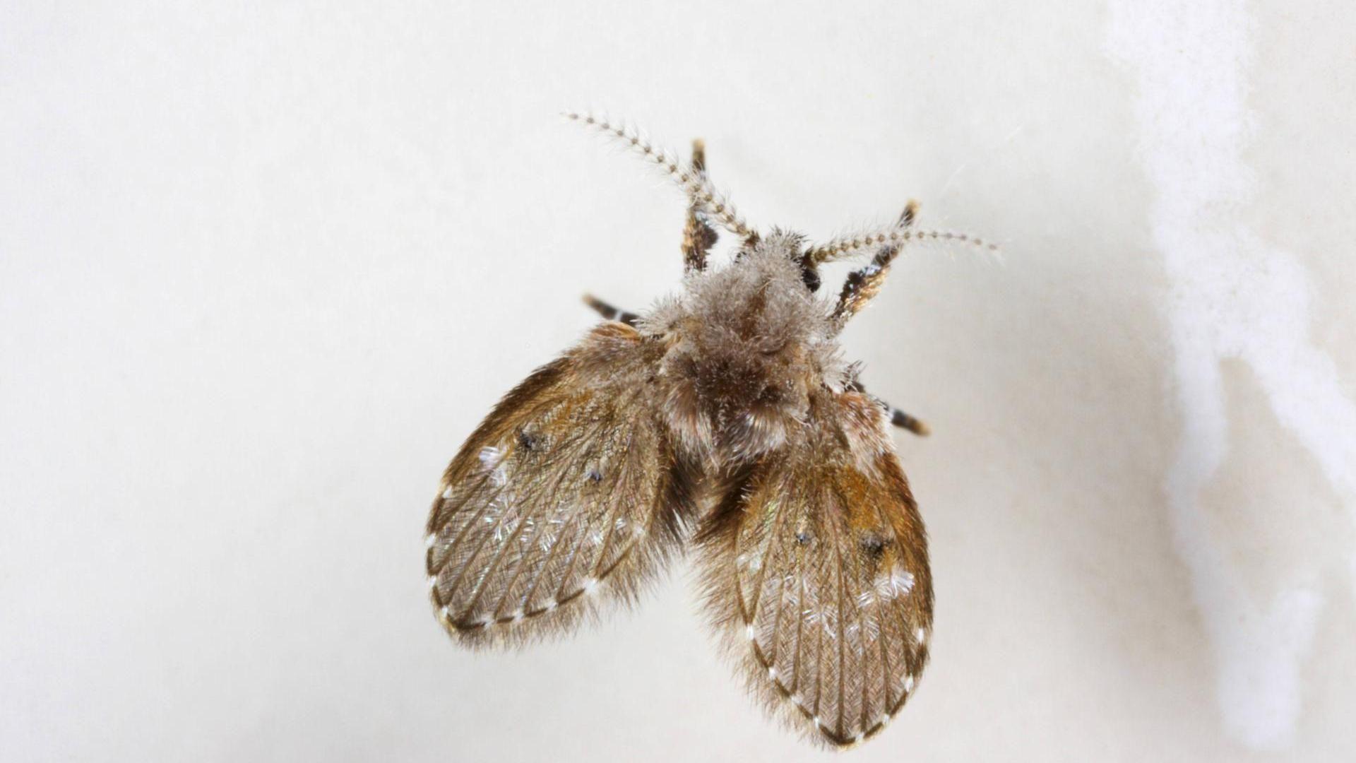 Dieses Insekt In Der Wohnung Sollten Sie Sofort Bekampfen Insekten Schmetterling Schmetterlingsfliegen