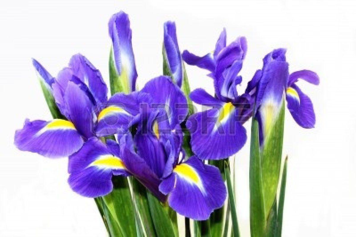 Beautiful dark purple iris flower isolated on white background flower izmirmasajfo