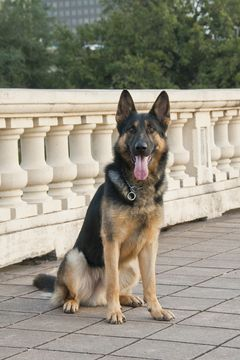 German Shepherd Dog Puppy For Sale In Burlington Ct Adn 37300 On