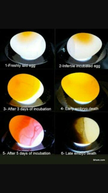 Budgie Eggs Baby Bird Food Egg Candling Candling Chicken Eggs