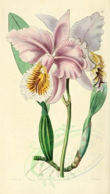 Flowers 22289 058 Cattleya Labiata Mossiae Mrs Moss S Cattleya 1954x3428 Picture Paintings Ornaments P Orchid Illustration Botanical Flowers Botanical Art