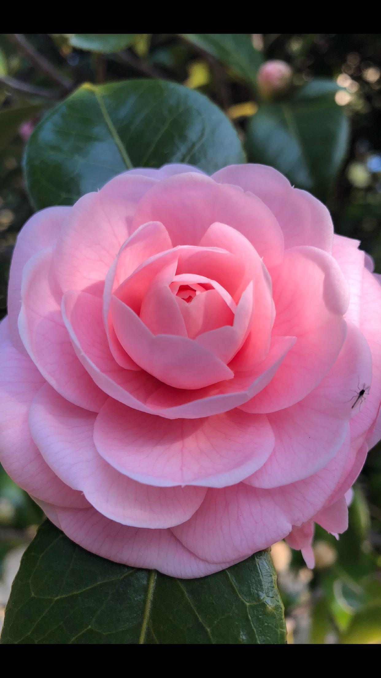 Pin by Trinity Hicks on Japan Beautiful roses, Flowers
