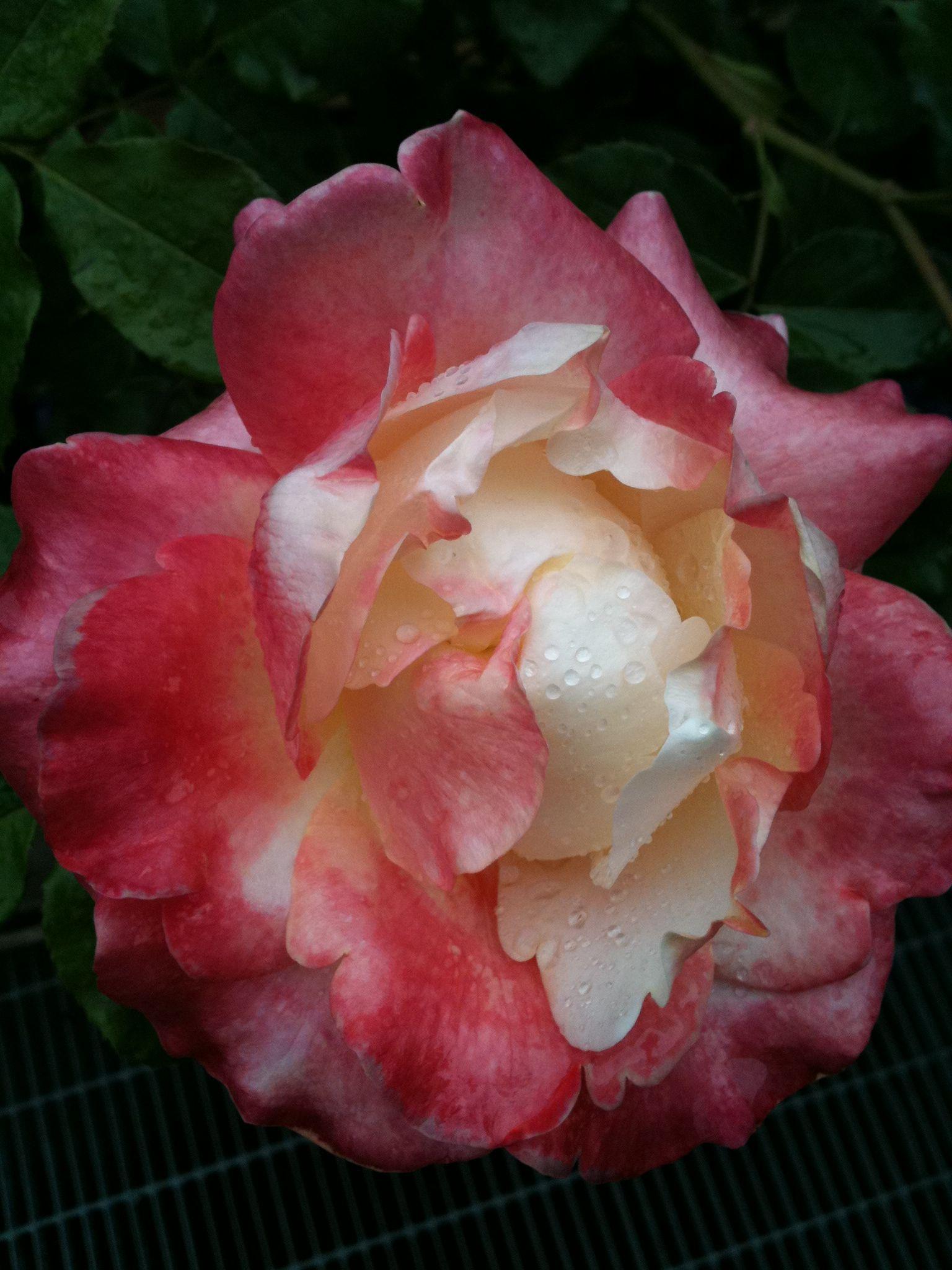 My roseus mystics roses beautiful pinterest mystic