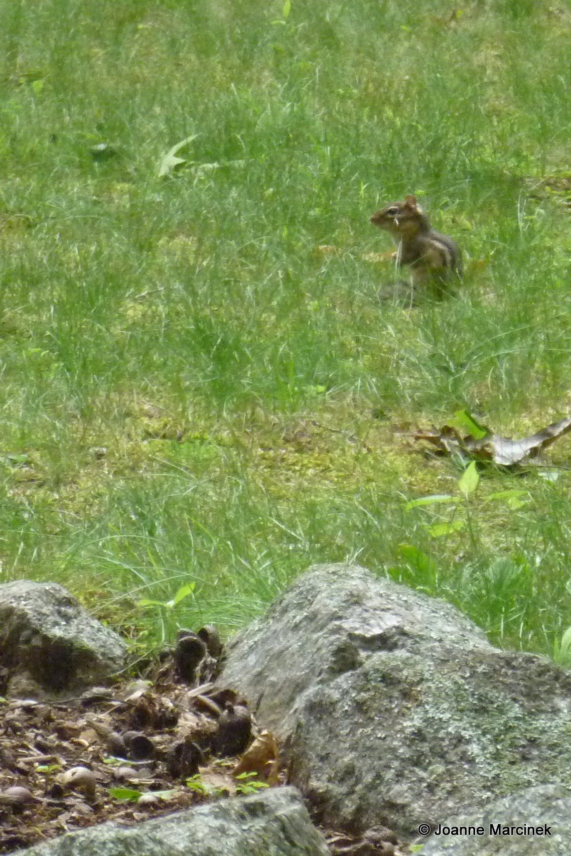 How to get rid of chipmunks in your yard made easy chipmunks how to get rid of chipmunks in your yard made easy ccuart Image collections