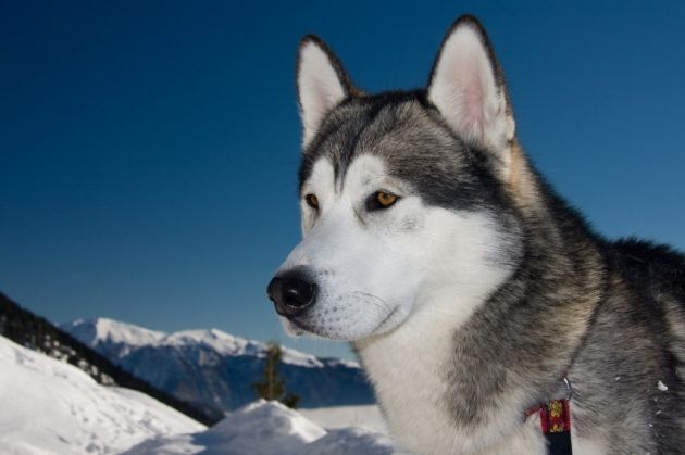 Dogs Of The World Malamute Dog Dogs Dogs Of The World
