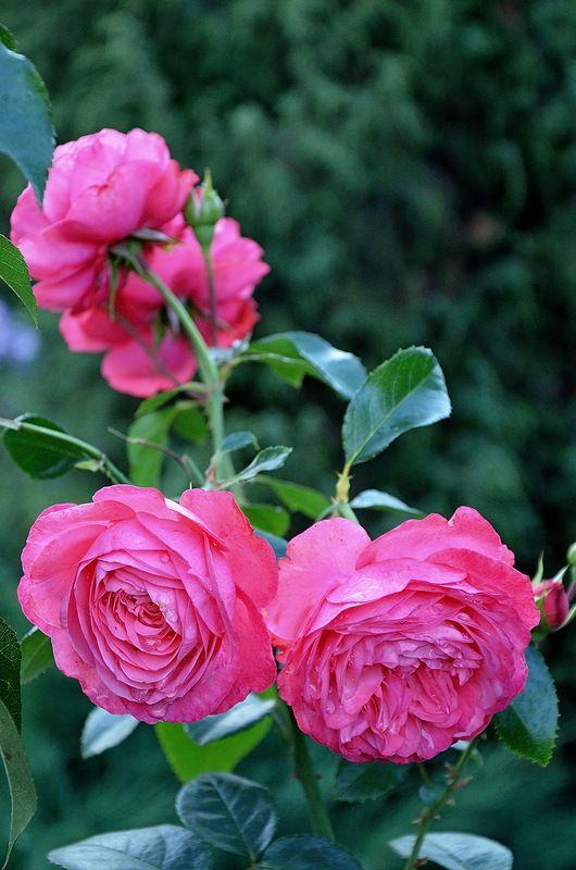 Яндекс.Фотки переехали   Красивые розы, Розовые почки