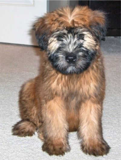 Soft Coated Wheaten Terrier This Is