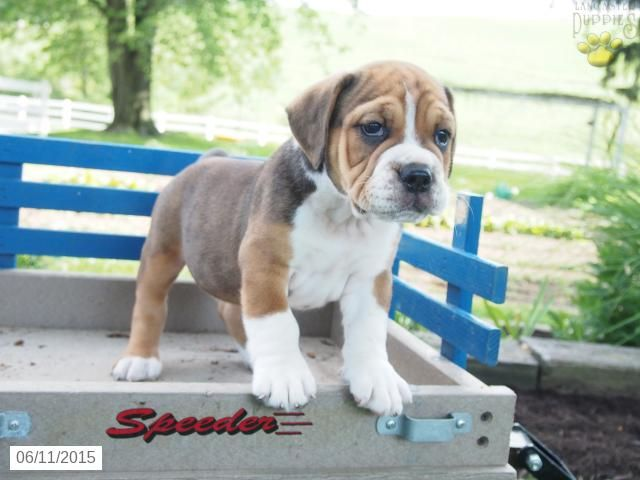 Beabull Puppy For Sale In Ohio Buckeyepuppies Puppies For Sale