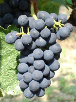 Valle d'Aosta - Vitigno Gamaret - è un incrocio ottenuto nel 1970 da André Jaquinet tra Gamay e Reichensteiner (vitigno bianco tedesco)