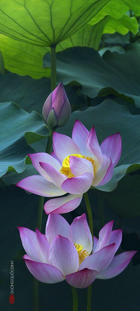 The beautiful and sacred lotus flower Sen074 z45x100cm by duongquocdinh.deviantart.com on @deviantART