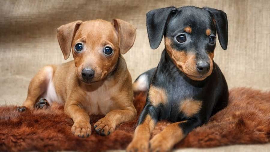 German Pinscher Puppy Picture Dog Breeds Mini Pinscher German