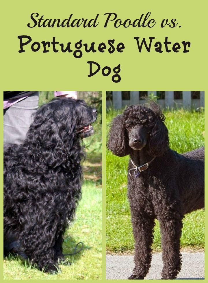 Standard Poodle Vs Portuguese Water Dog Portuguese Water Dog