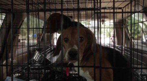These Nine Beagles Had Spent Their Whole Lives Locked In Cages And
