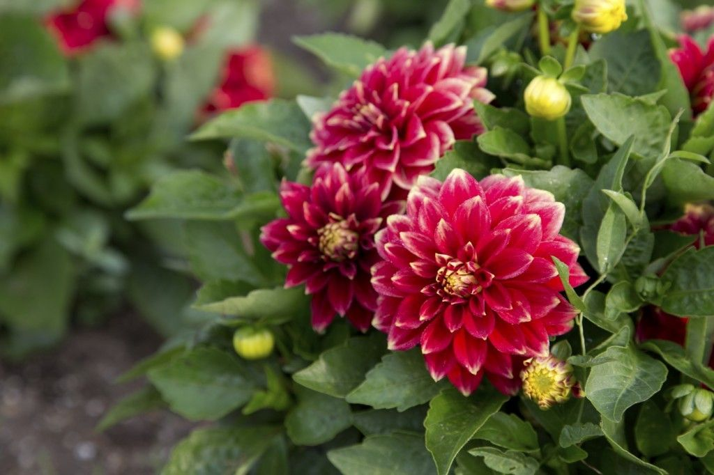 Pin On Dahlias