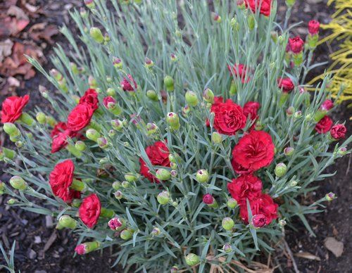How Do You Propagate Dianthus Carnation Or Sweet William Sometimes Known As Pink Mike S Backy Beautiful Flowers Garden Sweet William Sweet William Flowers