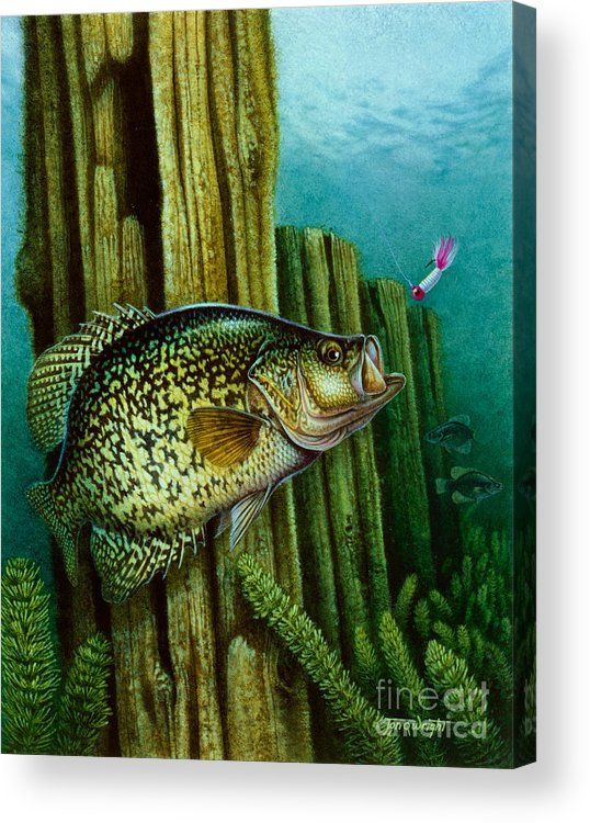Crappie And Posts Acrylic Print By Jq Licensing Fish
