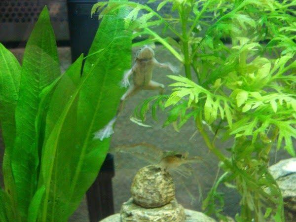 African Dwarf Frog Habitat Frog Habitat Dwarf Frogs Small Fish Tanks