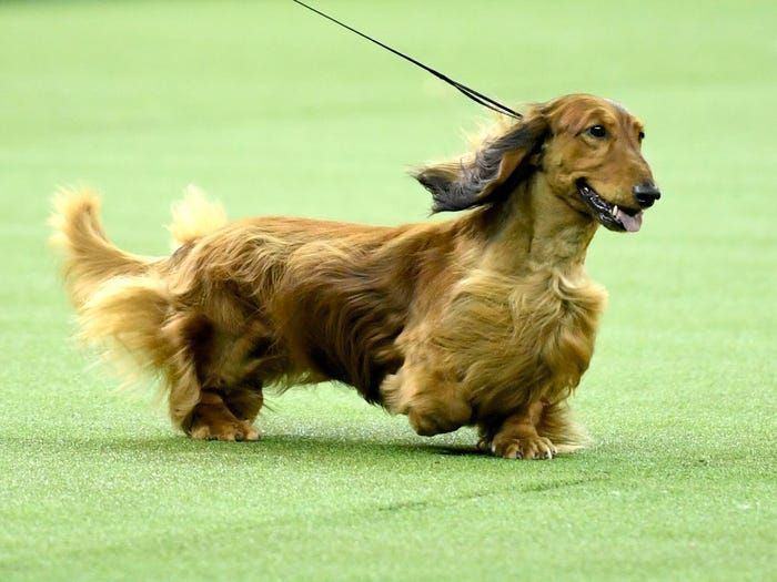 These Pint Sized Sausage Dogs The Twelfth Most Popular Breed In