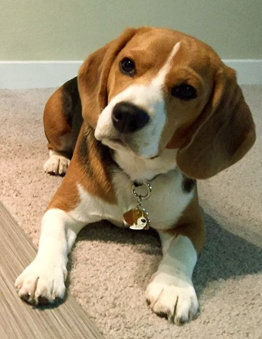 Pet Id Tag Mjavhov Beagle Dexter Going To The Dogs Beagle
