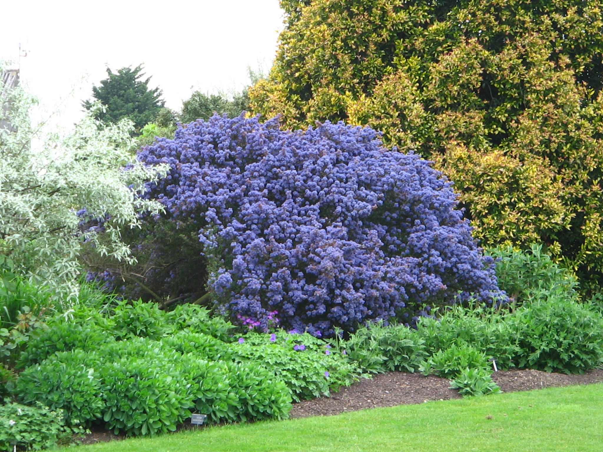 Evergreen shrubs google search garden barns pinterest for Plants and trees for small gardens