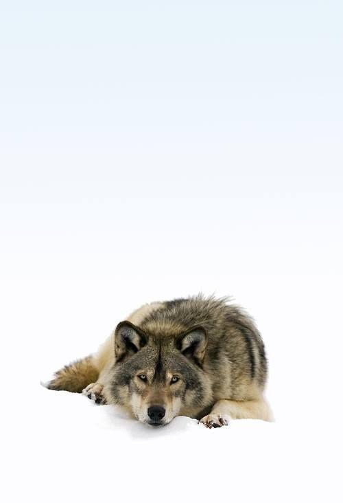 Animals - Wolf